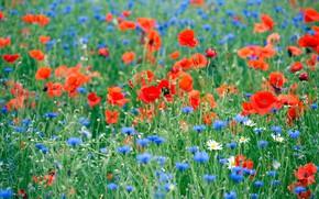 Картинка лето, цветы, маки, ромашки, луг, голубые, красные, полевые, синие, много, васильки, маковое поле, чркие