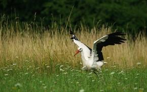 Картинка трава, цветы, птица, поляна, крылья, аист, взмах