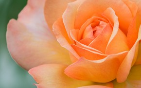 Картинка макро, крупный план, роза, оранжевая, лепестки