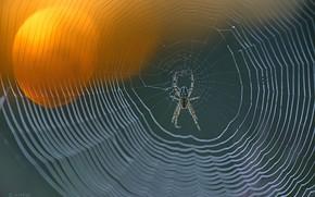 Картинка spider, focus, spider web, knit