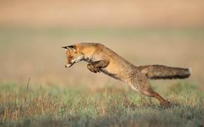 Картинка природа, поза, прыжок, лиса, в прыжке, лисица