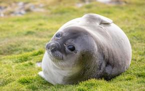 Картинка трава, взгляд, морда, круглый, поляна, тюлень, малыш, милый, лежит, морской котик, детеныш, лужайка, толстячок