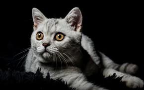 Картинка кошка, глаза, взгляд, котенок, серый, портрет, ворс, малыш, мордочка, коврик, черный фон, котёнок, полосатый, чудо, …