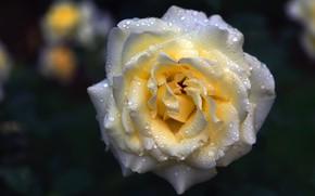 Картинка цветок, капли, темный фон, роза, бутон, белая