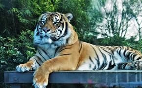 Обои взгляд, тигр, важный