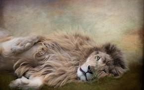 Картинка взгляд, морда, природа, поза, фотошоп, обработка, картина, лев, лежит