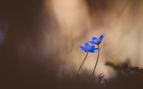 Картинка цветы, природа, весна, Hepatica nobilis