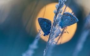Картинка солнце, макро, бабочки, парочка, травинка, Голубянка