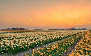 Картинка поле, цветы, нарциссы