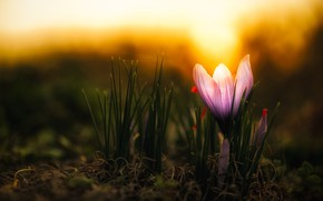 Картинка цветок, свет, темный фон, сиреневый, весна, бутон, крокус