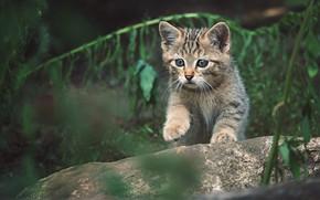 Картинка кот, поза, темный фон, котенок, малыш, дикий, лесной