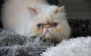 Картинка кошка, кот, пушистый, котэ, мяу