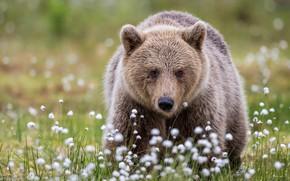 Картинка морда, поляна, портрет, медведь, мишка, хлопок, прогулка, бурый