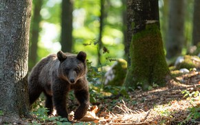 Картинка зелень, лес, солнце, деревья, природа, мох, медведь, медвежонок, боке, бурый