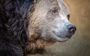 Картинка портрет, хищник, медведь