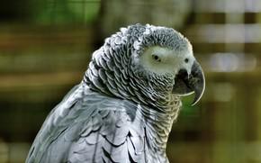 Картинка Птица, попугай, Африки, африканский попугай