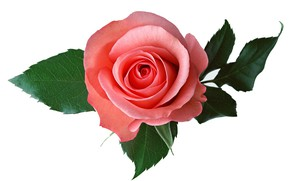 Картинка листья, фон, роза