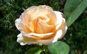 Картинка цветок, роза, 2018, кремовая, Meduzanol ©