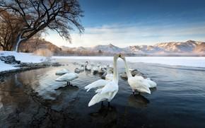 Картинка птицы, природа, озеро, лебеди
