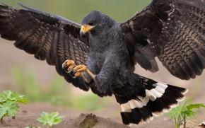 Картинка природа, птица, крылья, хищник, ястреб, приземление, размах
