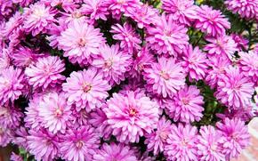 Картинка цветы, яркие, куст, сад, розовые, клумба, хризантемы, много