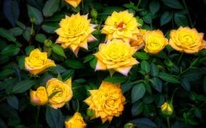 Картинка розы, букет, желтые