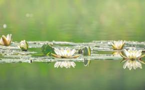 Картинка цветы, вода, водяные лилии, белые, цветение