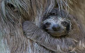 Картинка ленивец, детёныш, Коста-Рика