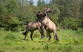 Картинка лошади, пара, резвятся, konik horses