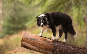 Картинка природа, собака, бревно, бордер-колли