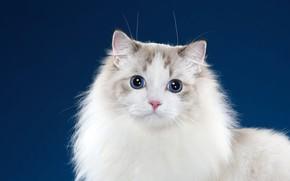 Картинка кошка, кот, взгляд, синий, поза, фон, портрет, мордочка, фотостудия, рэгдолл