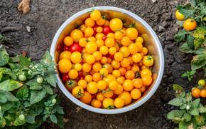 Картинка урожай, миска, помидоры, жёлтые помидоры