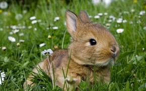 Картинка зелень, лето, трава, цветы, природа, серый, поляна, заяц, ромашки, кролик, малыш, зверек, зайчик, грызун, крольчонок, …