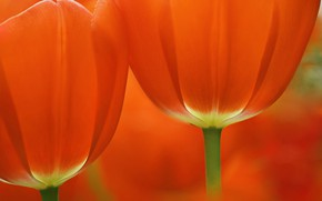 Картинка макро, тюльпан, лепестки