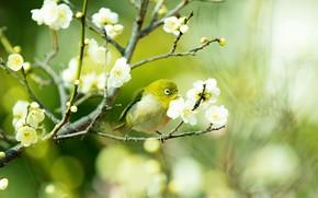 Картинка зелень, цветы, ветки, птица, красота, размытие, весна, сакура, птичка, цветение, желтая, боке, японская белоглазка