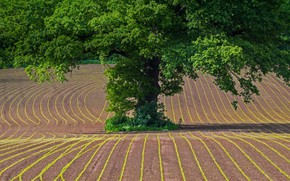 Картинка поле, Уэльс, дуб черешчатый, Монмутшир
