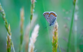 Картинка Макро, Бабочка, Растение, Насекомое, Macro, Insect, Blue Butterfly, Close-Up, Egor Kamelev, by Egor Kamelev, Common …