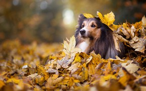 Картинка осень, взгляд, морда, листья, природа, парк, фон, листва, портрет, собака, щенок, боке, колли, ворох листьев