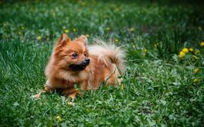 Картинка собаки, лето, рыжик