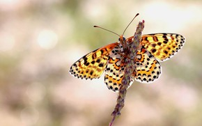 Картинка макро, фон, узор, бабочка, растение, стебель, насекомое, крылышки, желтая, боке, псетрая