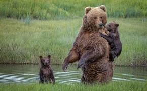 Картинка медведи, медвежата, медведица