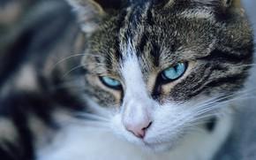 Картинка кошка, кот, взгляд, морда, крупный план, портрет, серая, голубые глаза, полосатая