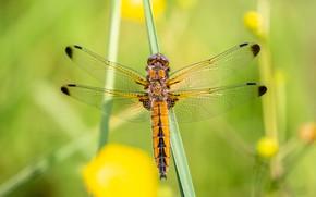 Картинка макро, желтый, природа, зеленый, фон, стрекоза, насекомое, крылышки, травинка
