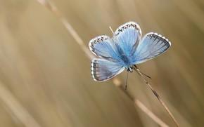 Картинка макро, фон, бабочка, стебель, насекомое, крылышки, голубая, боке