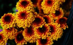 Картинка цветы, хризантемы, коричневые хризантемы