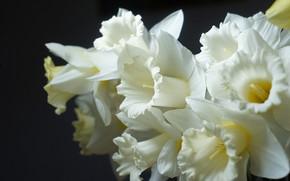 Картинка цветок, весна, нарцисс, бледно желтый цвет