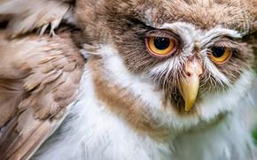 Картинка сова, птица, перья, клюв