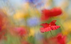 Картинка лето, цветы, синий, желтый, фон, настроение, маки, размытие, красные, боке