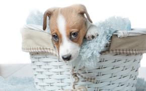 Картинка корзина, собака, щенок, мордашка, корзинка, пёсик, Джек-рассел-терьер