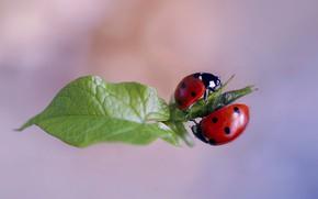 Картинка макро, природа, лист, жуки, парочка, божьи коровки, Rina Barbieri